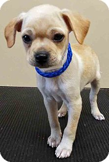 Chihuahua/Terrier (Unknown Type, Small) Mix Puppy for adoption in Oswego, Illinois - Joey