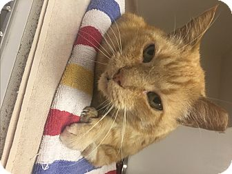Domestic Shorthair Cat for adoption in Indianapolis, Indiana - Costello