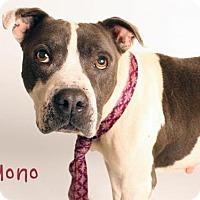 Pit Bull Terrier Dog for adoption in Sacramento, California - MONO