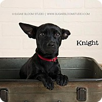 Chihuahua Mix Puppy for adoption in Denver, Colorado - Knight