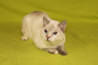 Siamese Cat for adoption in Jackson, Mississippi - Mia