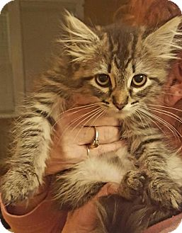 Domestic Mediumhair Cat for adoption in Baltimore, Maryland - Rebecca