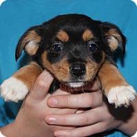 Adopt A Pet :: Baby Dancer- No Longer Accepting Applications - Potomac, MD