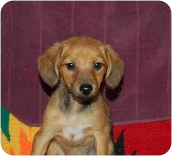 Dachshund/Shiba Inu Mix Puppy for adoption in Chula Vista, California - Layla