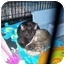 Photo 1 - Domestic Shorthair Kitten for adoption in Grand Rapids, Michigan - To Amy, Love Sid