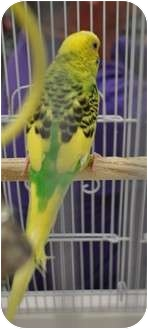 Budgie for adoption in Shawnee Mission, Kansas - Spice