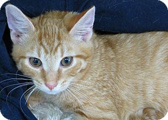 Domestic Shorthair Kitten for adoption in Walkersville, Maryland - Tucker