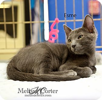 Russian Blue Kitten for adoption in Phoenix, Arizona - Esme