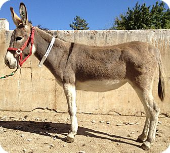 Donkey/Mule/Burro/Hinny Mix for adoption in Newcastle, California - Tracy