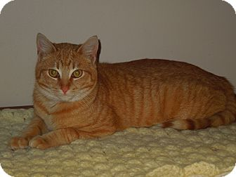 Domestic Shorthair Cat for adoption in Medina, Ohio - Cyrus