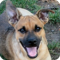 Shepherd (Unknown Type) Mix Dog for adoption in Sacramento, California - Georgie