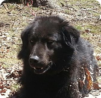 Flat-Coated Retriever Mix Dog for adoption in Brattleboro, Vermont - Raven