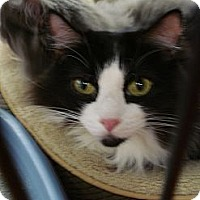 Domestic Longhair Cat for adoption in Monrovia, California - Charlie