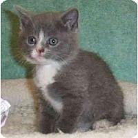 Adopt A Pet :: Quatro - Reston, VA