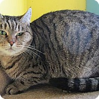 Adopt A Pet :: Little Tiger - Monroe, CT