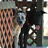 Adopt A Pet :: Kimber - Austin, TX