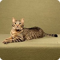 Domestic Shorthair Cat for adoption in Cary, North Carolina - Twix