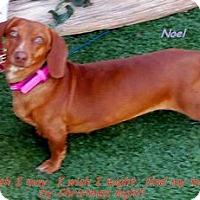 Adopt A Pet :: Noel - Chandler, AZ