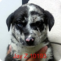 Adopt A Pet :: Jay Z - baltimore, MD