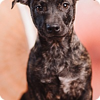 Adopt A Pet :: Confetti - Portland, OR