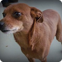 Adopt A Pet :: Fievel - Muskegon, MI