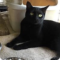 Adopt A Pet :: Bazinga - Horsham, PA
