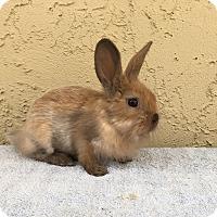 Adopt A Pet :: Stir Fry - Bonita, CA