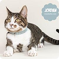 Domestic Shorthair Cat for adoption in Wyandotte, Michigan - Jordan