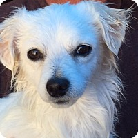 Papillon/Tibetan Spaniel Mix Dog for adoption in Corona, California - Garrett James II Sweet Baby