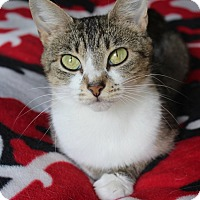 Domestic Shorthair Cat for adoption in Homewood, Alabama - Bridget