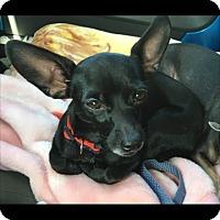 Adopt A Pet :: Loki fomerly Flaki - Las Vegas, NV