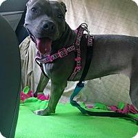 Adopt A Pet :: Blue - Charlotte, NC