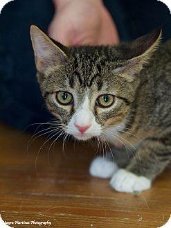 Domestic Shorthair Kitten for adoption in Homewood, Alabama - Bandit