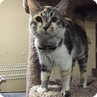 Calico Cat for adoption in San Jose, California - Becka