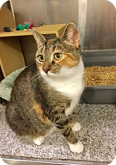 Domestic Shorthair Cat for adoption in Colmar, Pennsylvania - Leela