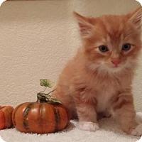 Domestic Mediumhair Kitten for adoption in Camarillo, California - *PUMPKIN