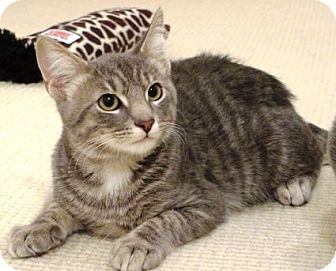 Domestic Shorthair Kitten for adoption in Columbus, Ohio - Toby