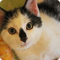 Domestic Shorthair Kitten for adoption in Carlisle, Pennsylvania - Amos