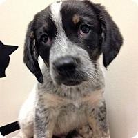 Shepherd (Unknown Type)/Blue Heeler Mix Puppy for adoption in Shorewood, Illinois - ADOPTED!!!   Rambo