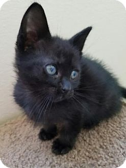 Domestic Longhair Kitten for adoption in Monrovia, California - Jerome