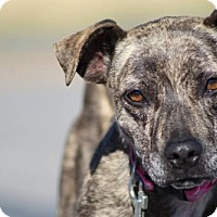 Chihuahua/Pit Bull Terrier Mix Dog for adoption in Lander, Wyoming - Heidi