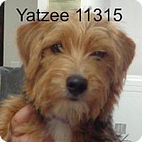 Adopt A Pet :: Yatzee - Alexandria, VA