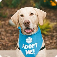 Labrador Retriever Dog for adoption in Pacific Grove, California - Archie Lab
