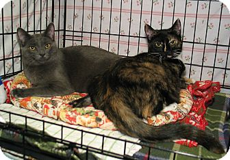 Domestic Shorthair Kitten for adoption in Milford, Massachusetts - Heather and Heron