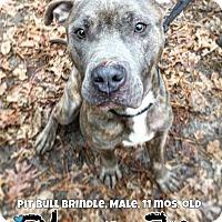 Adopt A Pet :: Blue Junior - Jackson, NJ