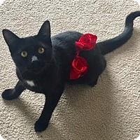 Domestic Shorthair Cat for adoption in Los Angeles, California - Butter
