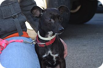 Miniature Pinscher/Chihuahua Mix Dog for adoption in New Cumberland, West Virginia - Alyssa