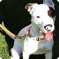 Adopt A Pet :: Maci - Gilbert, AZ