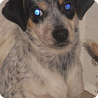 Adopt A Pet :: Queensland Heeler X - Aloha, OR