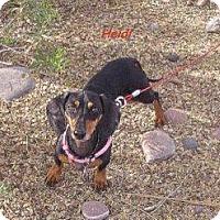 Adopt A Pet :: Heidi - Chandler, AZ